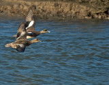 American Wigeons in flight