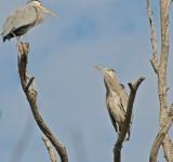 Graet Blue Herons in tree