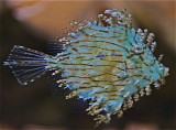 Tasseled Filefish