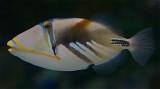 Picaso Triggerfish - Rhinecanthus aculeatus (Linnaeus, 1758)