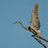 Great Blue Heron taking off for nest