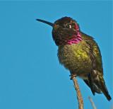 Annas Hummingbird Marsha