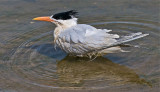 Injured Caspian Tern