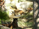 Mom wathcing her two cubs at play