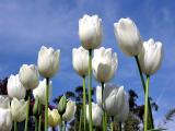Tulips, true sign of spring