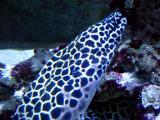 Honeycomb Morey Eel