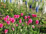 Tulips and Delphinium