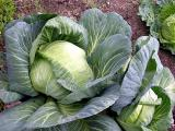 Huge Cabbage