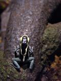 Poison Dart Frog (tiny)
