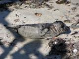 Young baby seal at La Jolla