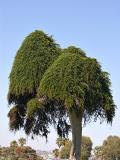 Unusual Cypress at La Jolla
