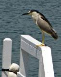 Night Heron at Oceanside Marina