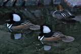 Hooded Mergansers (2 males, 1 female)