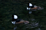 Hooded Mergansers (2 males)