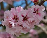Flowering Nectarine