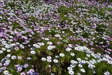 A field of Dasies
