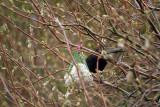 Blackbird  Blackcap Face-Off