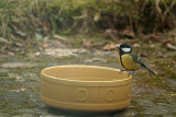Great Tit on the Dog Bowl 02