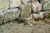 Male Blackcap on Path by Wall
