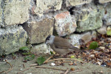 Male Blackcap on Path by Wall 02