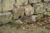 Male Blackcap on Path by Wall 03
