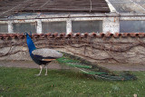 Peacocks in Prague 02