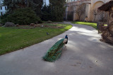 Peacocks in Prague 07