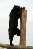 Malayan Sun Bear 03