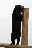 Malayan Sun Bear 04