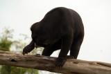Malayan Sun Bear 05