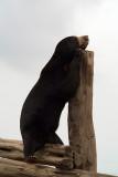 Malayan Sun Bear 10