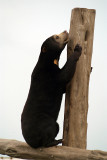 Malayan Sun Bear 16