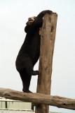 Malayan Sun Bear 19