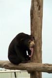 Malayan Sun Bear 20