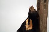 Malayan Sun Bear 21