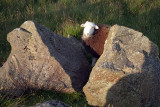 A Sheep Between Two Rocks