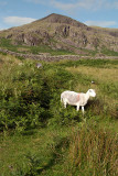 Sheep at Hardknott Fort