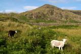 Sheep at Hardknott Fort 02
