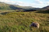 Sheep Grazing Lake District