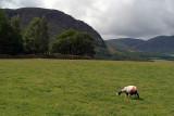 Sheeps Trees  Mountains 03