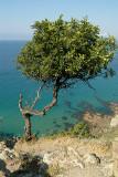 Carob Tree on Akamas Peinsula