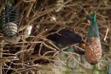 Female Blackcap  Male Blackbird Feeding 02