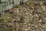 Male Blackcap on Gravel Path 02