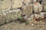 Male Blackcap on Path by Wall 04