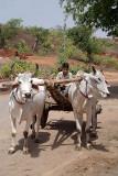 Oxen Cart Orchha