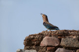 Indian Roller on a Wall