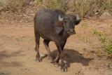 Young Water Buffalo Walking