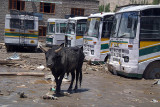 Bull in the Bus Stand Leh