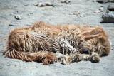 Sleeping Dog Caked in Mud Leh