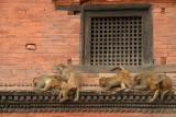 Monkeys Grooming Pashupatinath